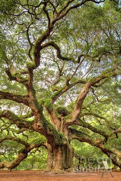 The Angel Oak Tree on Johns Island, South Carolina is said to be over 1500 years old! the stories she could tell us...
