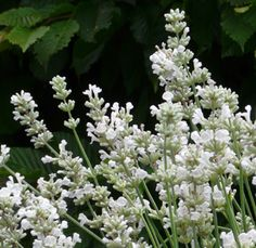 Lavandula angustifolia 'Nana Alba' - Weißer Zwerg-Lavendel