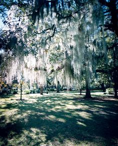 Spanish moss in Savannah brings to mind so much regarding historicity and legacy. The way the light passes through is truly spectacular and utterly unplanned.