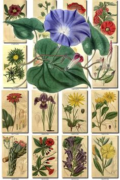 FLOWERS-67 Collection of 252 vintage images Acacia Pimelea Primrose Lobelia botanical pictures High resolution digital download printable           data-share-from=listing        >           <span class=etsy-icon