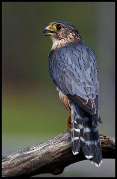 Wieder ein Merlin.