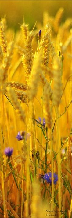 Wheat and barley fields All Nature, Amazing Nature, Nature Tree, Seasons Of The Year, Jolie Photo, Shades Of Yellow, Happy Colors, Mellow Yellow, Beautiful World