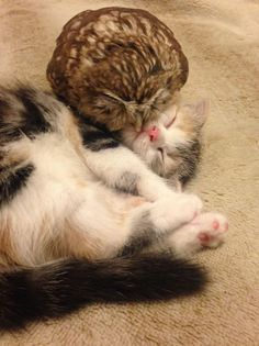 Cute Owlet And Sweet Kitten Become Best Friends At Coffee Shop