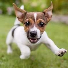 A playful Jack Russell terrier puppy Puppy Images, Puppy Pictures, Pictures Images, Jack Russell Terrier, Cute Puppies, Cute Dogs, Greenfield Puppies, Sweet Dogs, Coconut Oil For Dogs