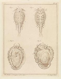 Robbert Muys | Schaaldier en weekdier, Robbert Muys, 1778 | Figuur 1 en 2 tonen het jeugdstadium van een parasitaire copepode bij vissen. Figuur 3 en 4 tonen zeeoor, zonder schelp. Rechtsboven: Pl. 16. Prent uit een boek over binnen- en buitenlandse land- en waterdieren.