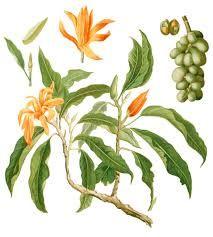 Michelia champaca, Magnolia champaca, Magnólia amarela.