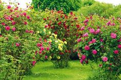 This site presents a complete wallpaper nifty images, presented to you seekers of information about wallpapers images. Bush Plant, Rose Bush, Garden Inspiration, Garden Landscaping, Floral Arrangements, Lavender, Bloom, Gardening, Landscape