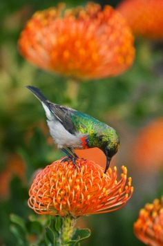 "Southern Double-collared Sunbird (Cinnyris chalybeus) Feeding on ""Pincushion"" Protea (Leucospermum) Kirstenbosch Gardens, Cape Town, South Africa"