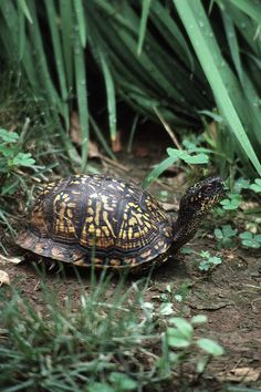 Box Turtle ~ The box turtle (Terrapene) is a genus of turtle native to North America (United States and Mexico). It is largely characterized by having a domed shell, which is hinged at the bottom, allowing the animal to close its shell tightly to escape predators. Box turtles have become popular pets, although their needs in captivity are complex.