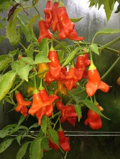 Different Types Of Vegetables, Fresh Fruits And Vegetables, Fruit And Veg, Fresh Herbs, Hot Pepper Recipes, Spicy Recipes, Chile Picante, Vegetable Animals, Types Of Peppers
