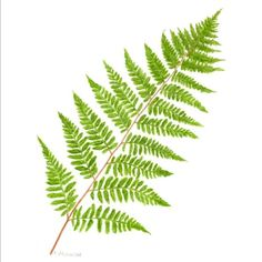 Lady Fern Print of an original watercolor painting