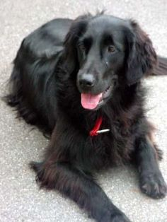 Flat-coated Retriever!!! This looks just like Brew did!!!! Aww I miss him so much the best dog ever!!!