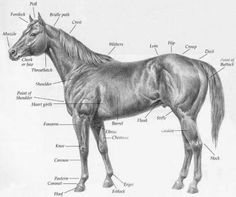 Great site for 4-H kids to learn anatomy, horse identification ...