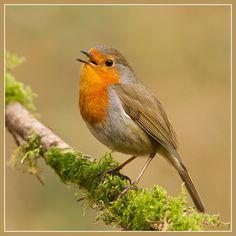 Robin, Rødhals, Rødkælk, bird, cute, nuttet, beauty, singing, precious, photo
