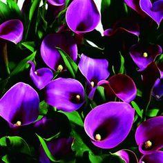 Calla Lily Grape Velvet