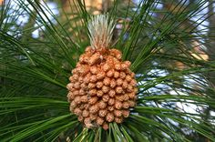 Pinus roxburghii (Chir Pine, Indian Longleaf Pine)