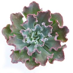 """Echeveria gibbiflora 'Blue Curls'     I have a hybrid of this plant """"Neon Breakers"""""""