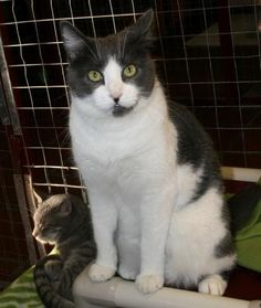 Goliath  Domestic Short Hair Mix • Adult • Male • Large San Gabriel Valley Humane Society San Gabriel, CA... has a giant personality and is ready for his forever home. He lives with others in Meow Manor but prefers to seek out his own space ...