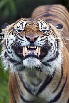 say cheese! Tigers have only 30 teeth. All cats have temporary teeth that come in within a week or two after birth, referred to as milk teeth similar to humans' baby teeth.  Tigers have the largest canines of all big cat species ranging in size from 2.5 to 3.0 inches in length. The canines have abundant pressure-sensing nerves that enable the tiger to identify the location needed to sever the neck of its prey.