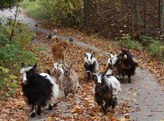 Mini Silky Fainting Goats MI Flying J Fainters The Geese Are Coming