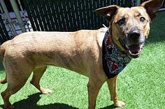 SAFE 5-9-2017 by All Breed Rescue Vermont --- RETURN 05/02/17 PERS PROB ---SAFE 8-27-2015 --- Manhattan Center SOPHIE – A1047868  FEMALE, BR BRINDLE, BELG MALINOIS MIX, 1 yr STRAY – STRAY WAIT, NO HOLD Reason STRAY Intake condition EXAM REQ Intake Date 08/14/2015 http://nycdogs.urgentpodr.org/sophie-a1047868/