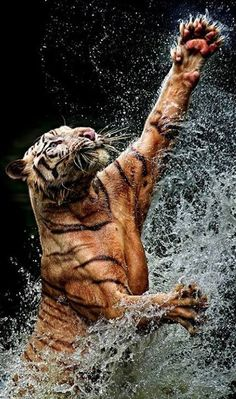 Frolicking tiger at Ragunan Zoological Park in Pasar Minggu, South Jakarta, Indonesia • photo:  Toni Panjaitan on Pixoto