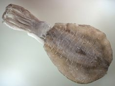 Bigfin Reef Squid アオリイカ