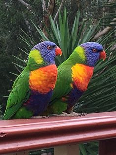 A pair of rainbow lorikeets showing their best profiles. Pretty Birds, Beautiful Birds, Animals Beautiful, Exotic Birds, Colorful Birds, Tropical Birds, Animals And Pets, Cute Animals, Australian Parrots