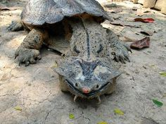 Esta es la tortuga Chelus fimbriatus, más conocida como matamata