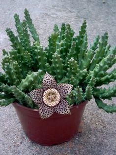 Orbea variegata (Stapelia variegata) - Starfish Plant, Carrion Flower, Toad Plant → Plant characteristics and more photos at: http://www.worldofsucculents.com/?p=1610