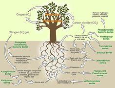 Phân bón Mỹ được nhập khẩu từ Mỹ: Vi sinh vật cố định đạm giúp cây trồng sống khỏe