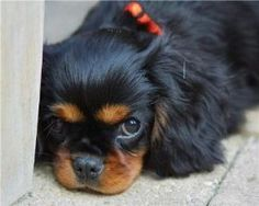 Cavalier King Charles Spaniel Black and Tan Cavalier King Charles Spaniel Black and Tan Source by cynparrett The post Cavalier King Charles Spaniel Black and Tan appeared first on Jim Norman Dogs. King Charles Puppy, Cavalier King Charles Dog, King Charles Spaniel, Spaniel Breeds, Spaniel Puppies, Cute Puppies, Cute Dogs, Game Mode, Cavalier King Spaniel