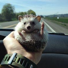 Biddy the Hedgehog, he is such an adventurer!  He's got little Boo Boo feet!!!  I miss my Fluffy Boo Boo!