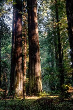 Twins, The Redwoods, California photo via besttravelphotos World trees beautiful Zion National Park, National Parks, National Forest, Redwood Forest, New Forest, Forest Map, Walk In The Woods, The Great Outdoors, Beautiful Places