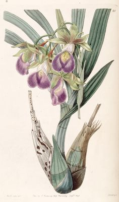 Galeandra baueri orchid botanical by Sarah Ann Drake (English, 1803–1857 ), from Edwards's Botanical Register, 1840