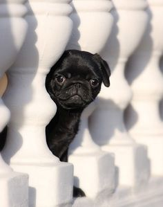 beautiful black pug contrasting white LOVE LOVE LOVE
