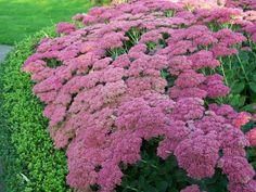 SEDUM 'HERBSTFREUDE' Garden Inspiration, Garden Plants, Gardening, Ideas, Bonito, Mediterranean Plants, Flowers, Outer Space, Autumn
