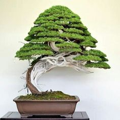 Bonsai Products - Faux Trees N' Shrubs Shiba Inu, Garden Art, Garden Design, Juniper Bonsai, Bonsai Styles, Miniature Trees, Bonsai Garden, Trees And Shrubs, Houseplants