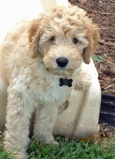 Australian Labradoodle--great for small space, spall children, long walks, and friendly towards strangers.  Plus, plus, and plus.
