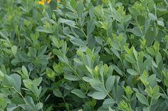 baptisia greens. tall. great filler! $8.00/bunch