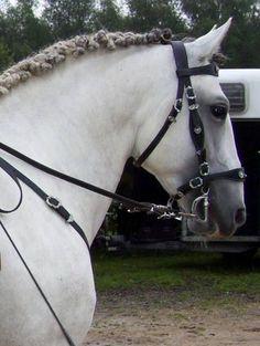 Lusitano stallion Versace