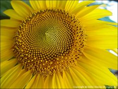 sunflower photography - Google Search