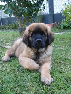 This is a Leonberger puppy. Ah! <3