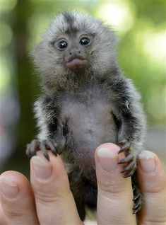 This little guy is too cute! Newborn marmoset fits in the palm of your hand (Theo Heimann / AP)