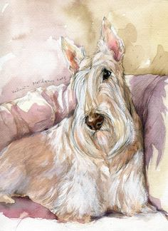 Beautiful portrait of a wheaten Scottie ❤️