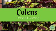 House Plant Maintenance Tips Coleus Brings Color All Season To Our Gardens As A Foliage Plant And With New Varieties Each Year, Coleus Has Become An Indispensable Plant Outdoors and In Shade Garden, Garden Plants, Container Gardening, Gardening Tips, Partial Shade Plants, House Plant Care, Leaf Coloring, Foliage Plants, Amazing Gardens