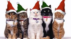 (1) Forum - For VALAR SILVERSMOKE - Cat of the Week - Dec. 7 to 13, 2015 / Unitedcats