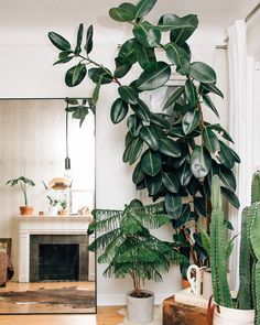 Want to grow these in your own home? Try these plants - Euphorbia Abyssinia, Araucaria Heterophylla or the Ficus Elastica. They're slow growing plants but well worth the wait. Ficus Elastica, Trees To Plant, Plant Leaves, Pot Plante, Rubber Tree, Plants Are Friends, Interior Plants, Foliage Plants, Pergola Designs