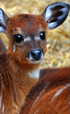 "Baby Siatunga antelope - I think this is mislabeled as a ""Kudu baby"". -  The  sitatunga or marshbuck is a swamp-dwelling antelope found throughout Central Africa, centering on the Democratic Republic of the Congo, Cameroon and parts of Southern Sudan as well as in Ghana"