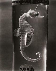 Oddities: seahorse in formaldehyde